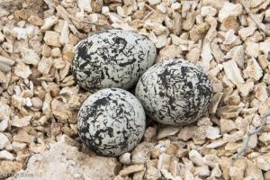 Un presidio di volontari per difendere le uova del fratino