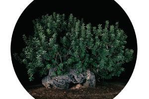 Il salentino Salvo D'Avila ha immortalato gli ulivi di Borgo San Marco