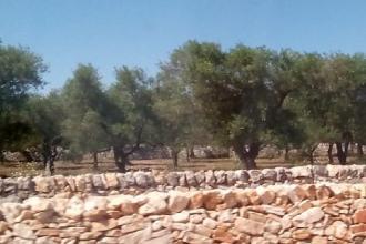 Passeggiare tra gli ulivi per conoscere il territorio