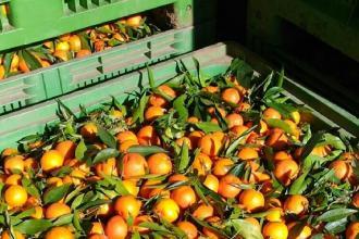 Gli agrumi ionici diventeranno succhi a spremitura a freddo