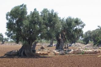 Più facile reimpiantare ulivi nelle zone a vincolo colpite da Xylella