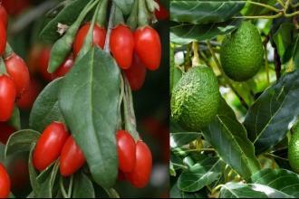 In Puglia aumenta la coltivazione di frutti esotici